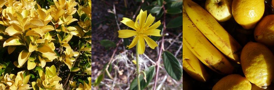 foto del color amarillo en la naturaleza: hojas amarillas, flor amarilla, platanos y limones